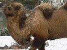 Wielbłąd dwugarbny, Camelus bactrianus, Bactrian camel