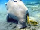 Diugoń,Dugong dugon,dugong