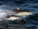 Delfin zwyczajny,Delphinus delphis,Common dolphin