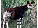 Okapi, Okapia johnstoni