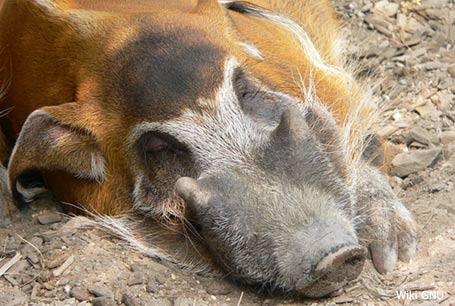 Świnia rzeczna, Potamochoerus porcus, Red River Hog