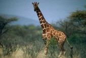 Żyrafa, Giraffa camelopardalis, giraffe