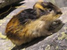 Leming górski, Lemmus Lemmus,Norway lemming