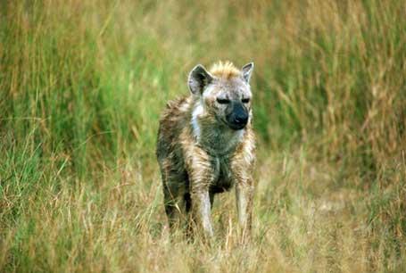 Hiena cętkowana,CrocuHiena cętkowana,Photota crocuta,spotted hyena