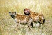 Hiena cętkowana,Crocuta crocuta,spotted hyena