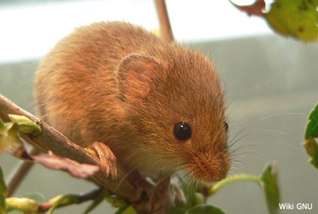 Badylarka, Micromys minutus, Harvest Mouse