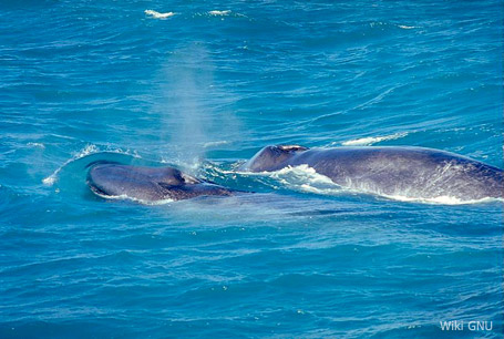 Płetwal błękitny, Balaenoptera musculus, blue whale