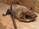 Mroczek późny, Eptesicus serotinus, serotine bat