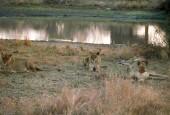 Lew,Panthera leo,lion
