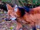 Wilk grzywiasty, Chrysocyon brachyurus, Maned Wolf
