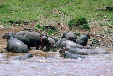 Hipopotam nilowy,Hippopotamus amphibius,hippopotamus