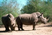 Nosorożec biały, Ceratotherium simum, White Rhinoceros