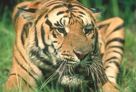 Tygrys,Panthera tigris,tiger