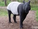 Tapir malajski, Tapirus indicus, Malayan Tapir