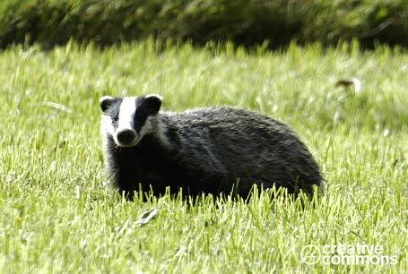 Borsuk, Meles meles, European Badger