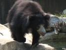 Wargacz, Melursus ursinus, Sloth Bear