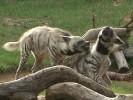 Hiena pregowana,Hyaena hyaena,Striped Hyena