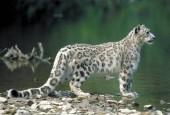Irbis,Uncia uncia,pantera śnieżna,Snow Leopard