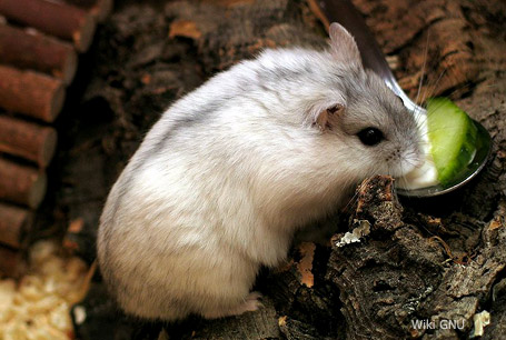 Chomik dżungarski,Phodopus sungorus,Djungarian hamster