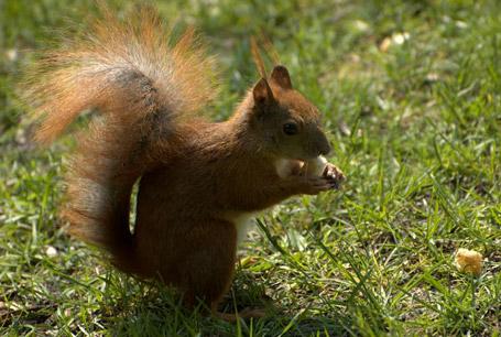 Wiewiórka pospolita, Sciurus vulgaris, red squirrel