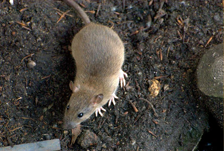 Szczur wędrowny, Rattus norvegicus, brown rat, common rat