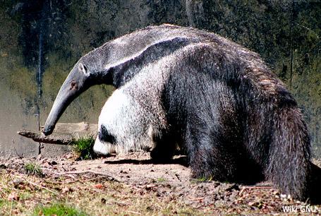 Mrówkojad wielki, Myrmecophaga tridactyla, Giant Anteater