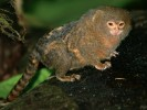 Pigmejka, Callithrix pygmaea, Pygmy Marmoset