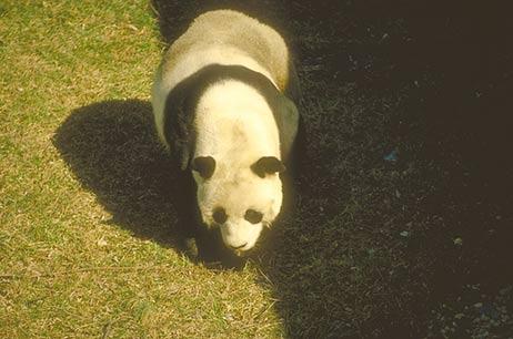 Panda wielka, Ailuropoda melanoleuca, giant panda