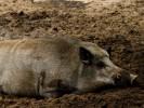 Dzik, Sus scrofa, Wild boar