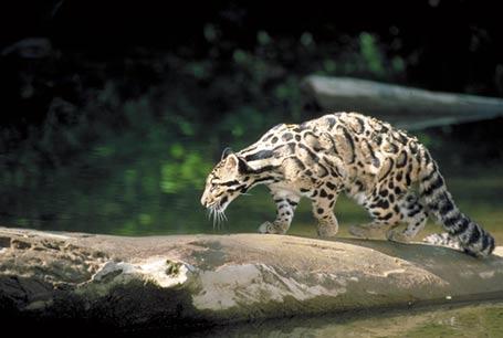 Pantera mglista,Neofelis nebulosa,Clouded Leopard