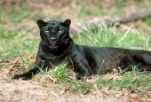 Lampart,Panthera pardus,leopard