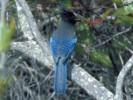 Modrosójka czarnogłowa, Cyanocitta stelleri, Steller\'s Jay