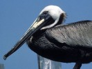 Pelikan brunatny, Pelecanus occidentalis, Brown Pelican