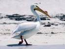 Pelikan dzioborogi, Pelecanus erythrorhynchos, American White Pelican