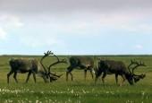 Karibu,Rangifer tarandus caribou,reindeer