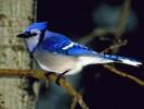Modrosójka błękitna, Cyanocitta cristata, Blue Jay