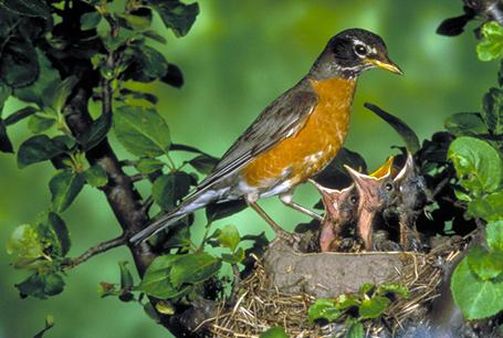 Drozd wędrowny, Turdus migratorius, American Robin