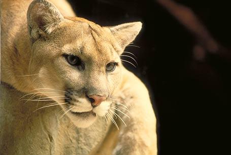 Puma Ssak Zwierzę Puma Kuguar Lew Górski Pantera Florydzka