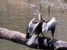 Wężówka amerykańska, Anhinga anhinga, Anhinga