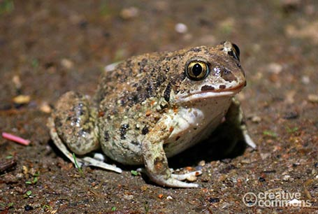 Grzebiuszka ziemna, Pelobates fuscus, Spadefoot, Garlic Toad