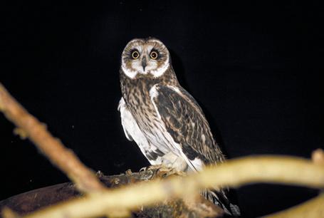Uszatka błotna, Asio flammeus, Short-eared Owl