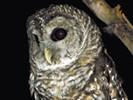 Puszczyk kreskowany, Strix varia, Barred Owl