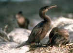 Kormoran nielotny, Phalacrocorax harrisi, Flightless Cormorant