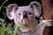 Koala,Phascolarctos cinereus
