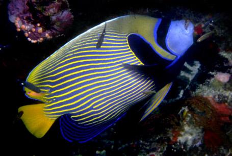 Ustniczek cesarski, Pomacanthus imperator, emperor angelfish