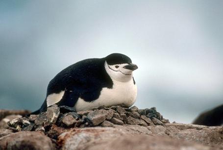 Pingwin maskowy, Pygoscelis antarctica, Chinstrap Penguin