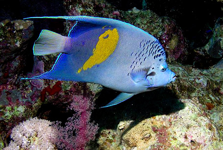 Ustniczek cętkowany, Pomacanthus maculosus, Arabian angelfish