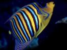 Pygoplites diacanthus, royal angelfish