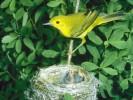 Lasówka złotawa, Dendroica petechia, Mangrove Warbler