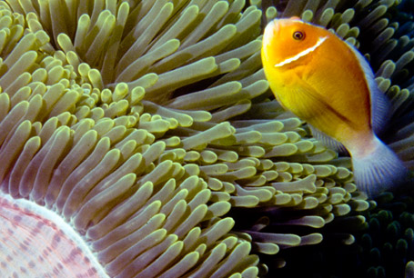 Amfiprion złoty, Amphiprion perideraion, pink skunk clownfish